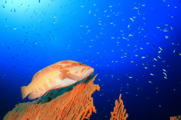 Grouper fish underwater on coral reef