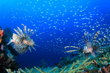Lionfish fish on coral reef underwater