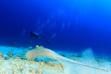 Blue-spotted Stingray and scuba divers