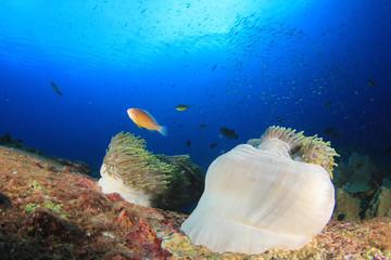 Fish on coral reef. Clownfish anemonefish anemone