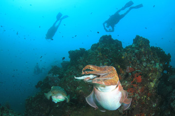 Pharaoh Cuttlefish and scuba divers