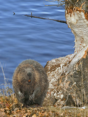 adult beaver biting a tree trunk