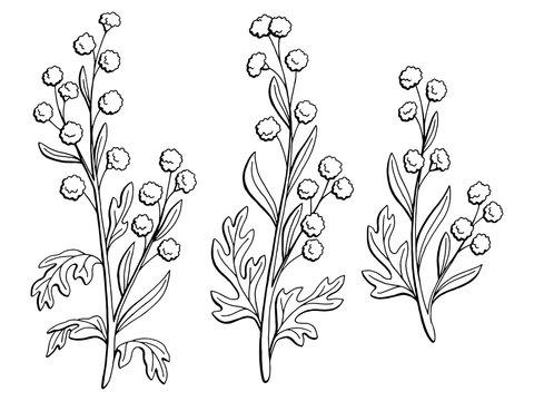 Artemisia plant graphic black white isolated sketch illustration vector