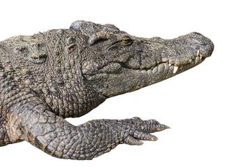 crocodile open eye