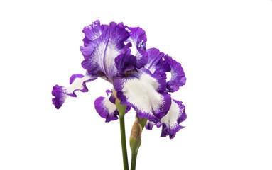 Fond de hotte en verre imprimé Iris iris flower isolated