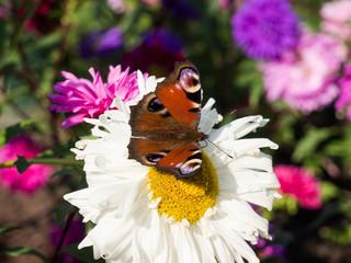 European peacock buterfly sitting on a flower