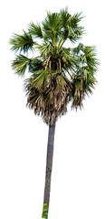sugar palm tree alone or single on isolate white background