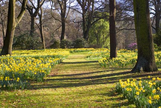 Daffodils in Hagley Park, Christchurch, New Zealand