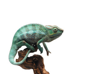 Fotobehang Kameleon Blue Panther chameleon isolated on white background