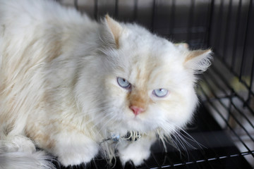 a angora cat or Felis catus