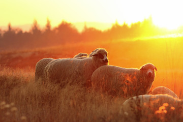 flock of sheep in beautiful sunset light