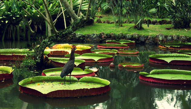 bird on Flower of the Victoria Amazonica