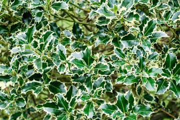 Holly leaves background.Christmas background. Green leaves texture