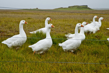 Gooses in a typical Icelandic landscape, a wild nature of rocks and shrubs, rivers and lakes.