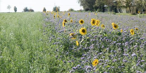 Phazelie und Sonnenblumen