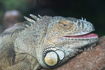 The head of the green iguana closeup.