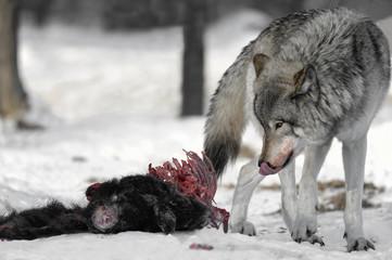 Alpha Wolf on Carcass