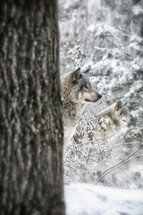 Timber Wolves On Guard