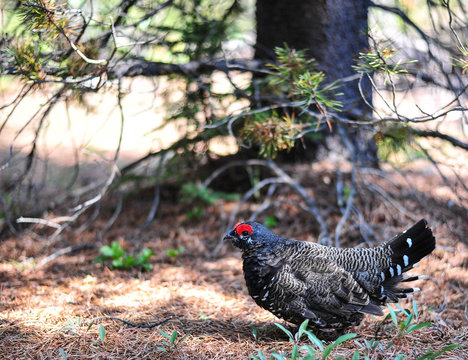 Spruce Grouse in Waterton Lakes National Park, Alberta
