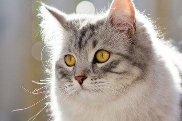 siberian cat with yellow eyes staring