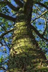 Ceiba speciosa trunk