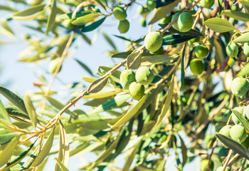 Olive tree with green olives.