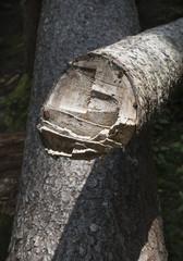 Axe Marks on a Spruce Tree Log