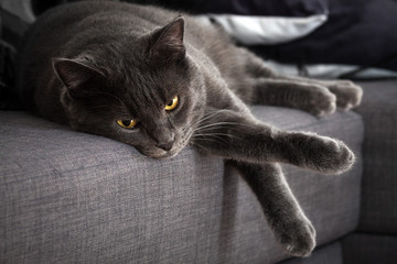 Gray cat lying at home