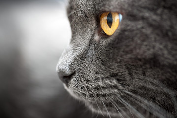 Closeup gray cat with amber eyes profile view