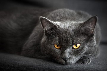 Serious gray cat lies at home and watches