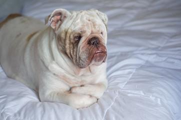 Bulldog Inglês deitado na cama
