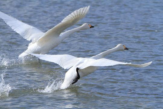 飛び立つ白鳥 Flying swan