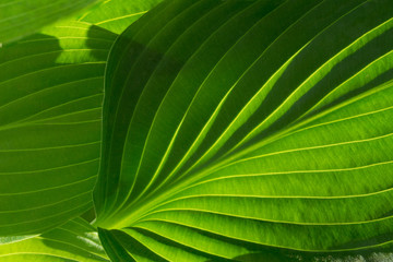 Bright green leafy background texture with curving veins and ridges.  Hosta leaves with many shades of green