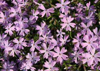 Close up colorful background of violet pink Creeping Phlox flowers, Phlox subulata
