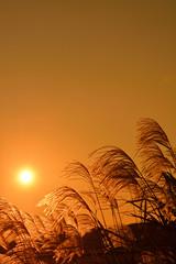 ススキ 夕陽
