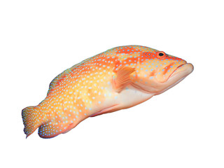 Coral Trout isolated on white background. Grouper fish cutout