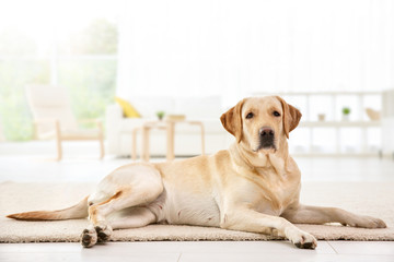 Cute Labrador Retriever at home