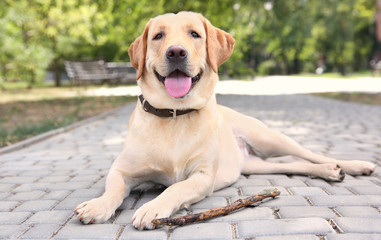 Cute Labrador Retriever with wooden stick lying on sidewalk in park