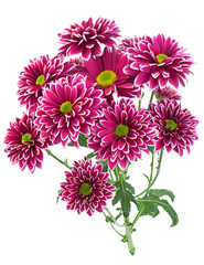 Purple chrysanthemum flower closeup