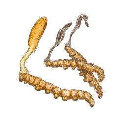 Cordyceps on a white background.