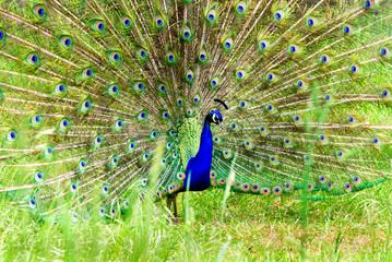 Peacock Dancing, wildlife