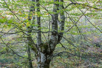 Haya. Bosque de Hayas. Fagus sylvatica.