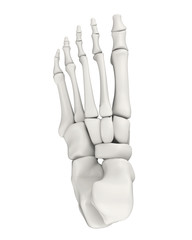 Foot Bones Anatomy Isolated