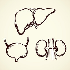 Bladder. Vector drawing