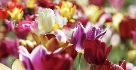 tulpen frühling farben bunt