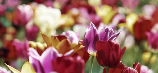 Fotoväggar - tulpen frühling farben bunt