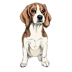 Close-up portrait of sitting Beagle dog. Colored illustration. Vector engraved art. Friendly smilling puppy isolated on white background. Pet shelter, flyer, poster, clothing prints. Sketched poster
