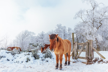 Winter scene with snow and brown Konik horses at the Dutch Veluwezoom