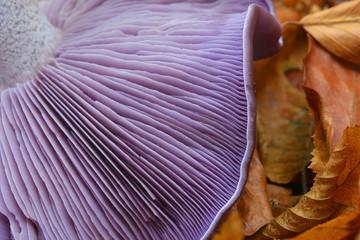 clitocybe nuda mushroom
