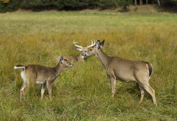 White-tailed deer family in an autumn meadow